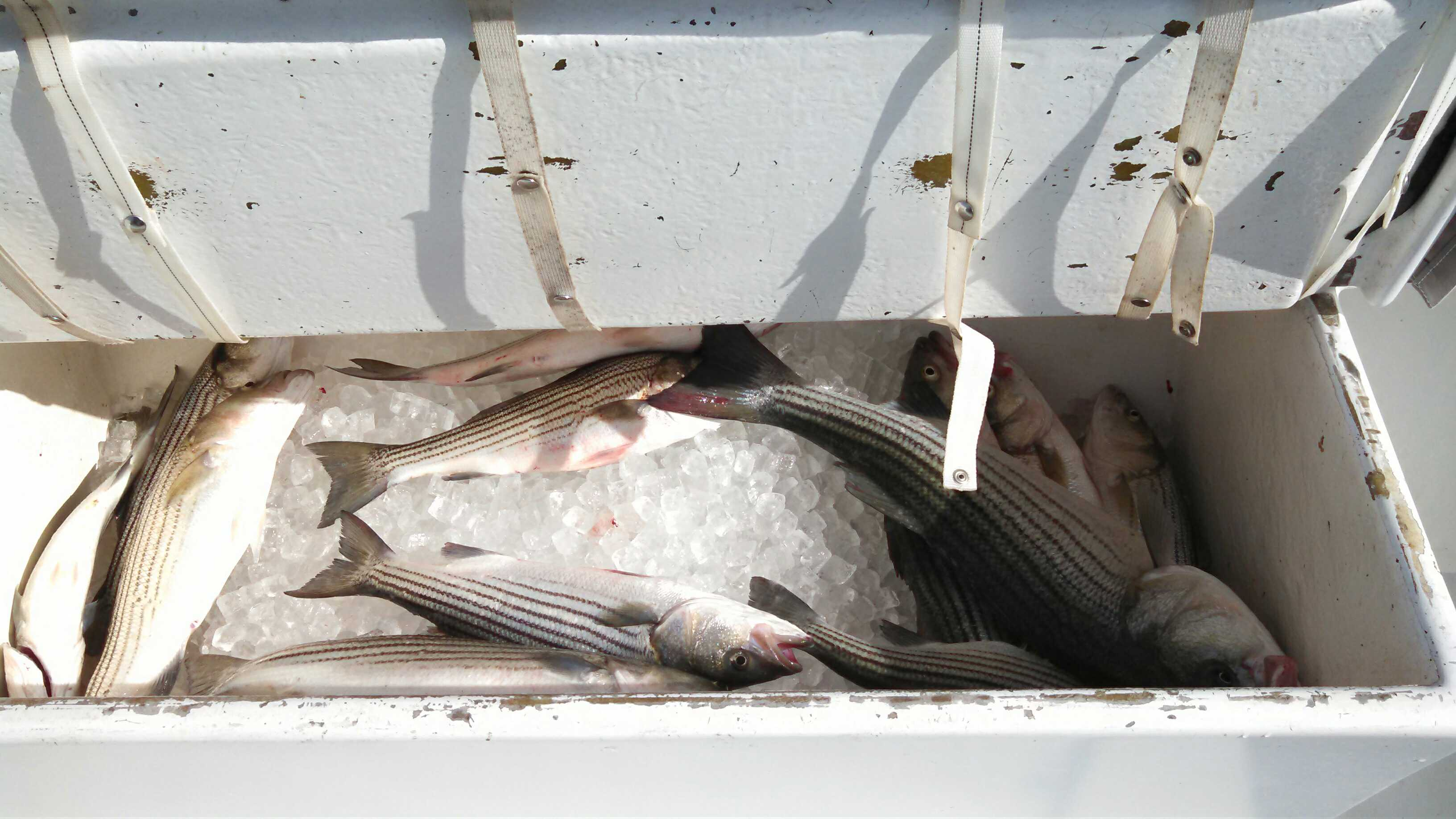 Box of Rockfish.jpg
